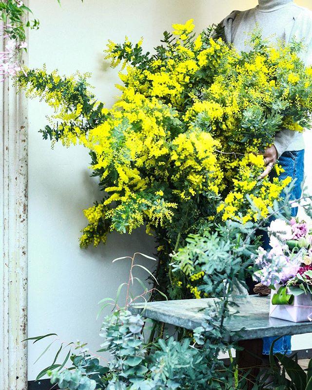 明日からミモザのレッスンが始まります。たわわな子達が来てくれました。とっても、とっても楽しみですね!..#mimosa #cerise #警固 #rossarossa #flowerlesson #dryflower #springhascome #natural