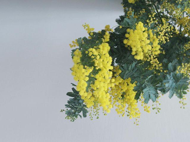 ミモザもう咲き始めました。.今年は例年よりも早いですね。お花のタイミングに合わせて、急いでミモザのレッスンをご用意しました.2月と3月の毎週水曜日 @cerise_flower にて11:00〜 ,  14:00〜2回開催です。1レッスン 4000円時間は1時間程度。2/12 ミモザのアレンジメント2/19 ミモザのナチュラルガーランド2/26 ミモザのリース3/5 ミモザと春の花たち3/12 ミモザのフライングリース.ミモザを楽しんでいただける時期にたくさんミモザを触っていただけるといいなと思います。11:00〜のレッスンは @cmakich が担当いたします。14:00〜のレッスンは @mikiyahi が担当です◎レッスンの後はロッサロッサでお茶やランチもお楽しみいただけます。ご自宅へ飾る用、春生まれの方へプレゼントに、卒業卒園シーズンに、いろいろな場面に、春の黄色い小さな花 ミモザを いかがですか.#flowerlesson #mimosa #fukuokaflower #springflowers #花のある暮らし